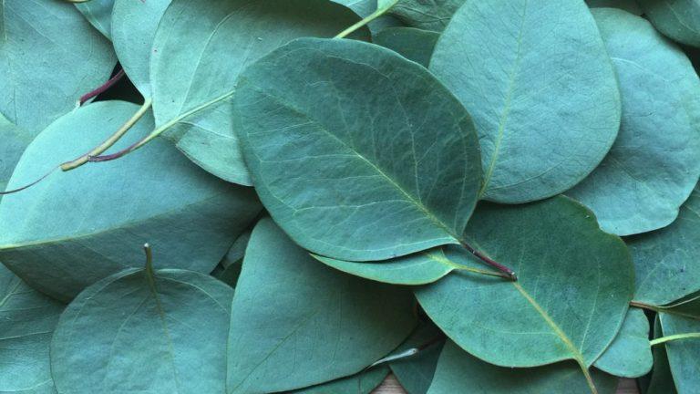 Descubra los múltiples beneficios del aceite esencial de eucalipto